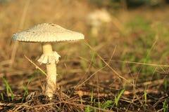 蘑菇(Macrolepiota excoriata) 免版税库存图片