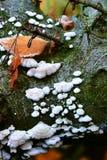 蘑菇(Schizophyllum公社) 免版税图库摄影
