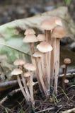 蘑菇Gymnopus confluens 免版税库存照片