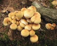 蘑菇Hypholoma fasciculare 图库摄影