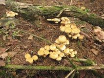蘑菇Hypholoma fasciculare 库存照片