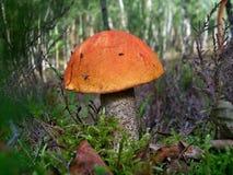蘑菇Leccinum 库存图片
