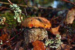 蘑菇Leccinum versipelle 免版税图库摄影