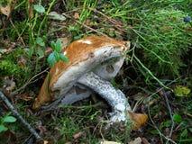 蘑菇Leccinum versipelle 库存照片