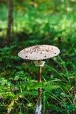 蘑菇Macrolepiota procera或伞菌 免版税库存图片