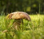 蘑菇porcini 免版税库存照片
