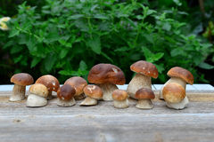 蘑菇porcini 免版税库存图片