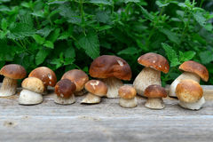 蘑菇porcini 库存图片