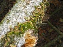 蘑菇Trichaptum biforme 免版税图库摄影