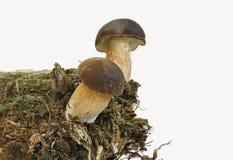 蘑菇v3 免版税库存照片