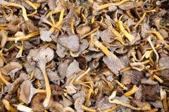 蘑菇Yellowfoot 免版税库存照片