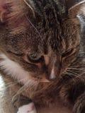 虎斑猫使用 库存照片