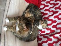 虎斑猫兄弟和姐妹 库存照片