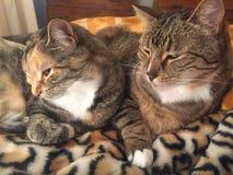虎斑猫兄弟和姐妹 库存图片