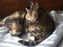 虎斑猫兄弟和姐妹 免版税库存图片