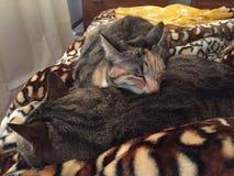 虎斑猫兄弟和姐妹 免版税图库摄影