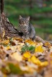 虎斑猫和秋天颜色 免版税库存照片
