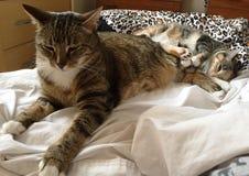 虎斑猫和他的小猫 库存照片