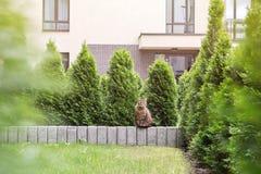 虎斑猫坐石小墙壁 图库摄影