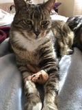 虎斑猫是英俊和蓬松的 图库摄影