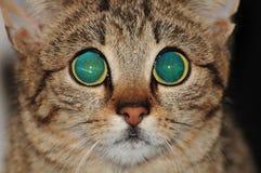 虎斑猫画象与大眼睛的 图库摄影