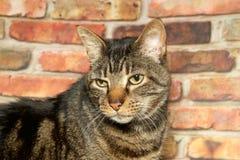 虎斑猫的画象 免版税库存图片