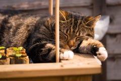 虎斑猫睡着在大农场主 库存图片