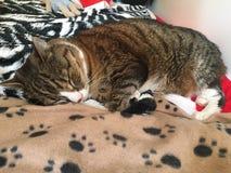虎斑猫睡觉 库存图片