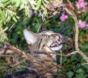 虎斑猫露出它的牙,当观看鸟时 免版税库存照片
