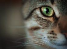 虎斑猫面孔特写镜头  免版税库存图片