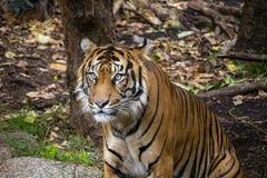 虎滩坐在他的封入物的Sumatran老虎 免版税库存图片