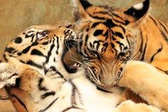 虎犊战斗 库存照片
