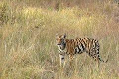 虎犊 免版税图库摄影