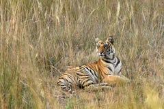 虎犊 免版税库存照片