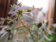 虎耳草属植物 库存图片