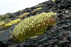 虎耳草属植物 Saxifrage花在寒带草原 免版税库存照片