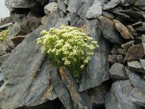 虎耳草属植物exarata 图库摄影