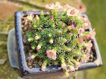 虎耳草属植物kusamono 图库摄影