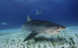 虎鲨大巴哈马岛,巴哈马 库存照片