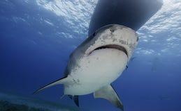 虎鲨大巴哈马岛,巴哈马 免版税图库摄影