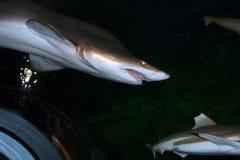 虎鲨(cuvier的鼬鲨属的)储蓄图象 免版税库存照片
