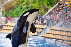 虎鲸在Loro Parque,特内里费岛 免版税库存图片