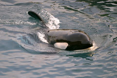 虎鲸游泳 库存照片