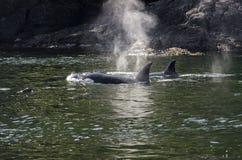 虎鲸牧群在加拿大 免版税库存照片