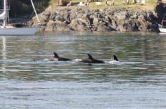 虎鲸牧群在加拿大 图库摄影