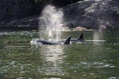 虎鲸牧群在加拿大 免版税图库摄影