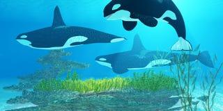 虎鲸礁石 库存照片