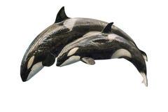 虎鲸跳跃 库存照片