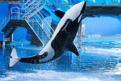 虎鲸跳 图库摄影