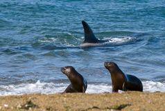 虎鲸,海怪,寻找海狮 免版税库存照片